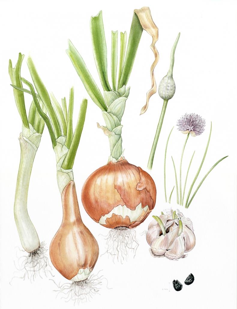 Familia Allium a color