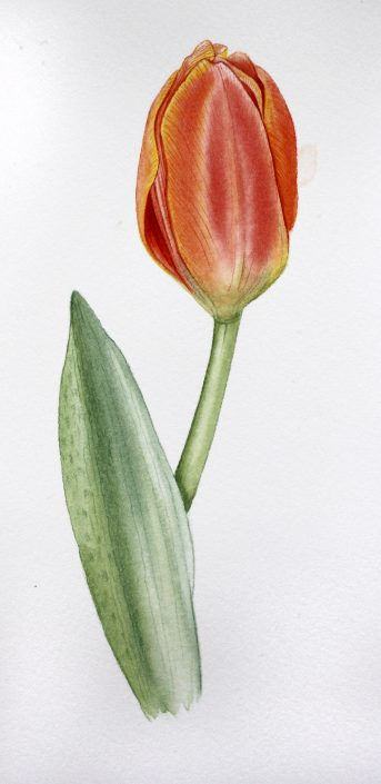 Tulip Geraldine MacKinnon Mi Naturalismo watercolor