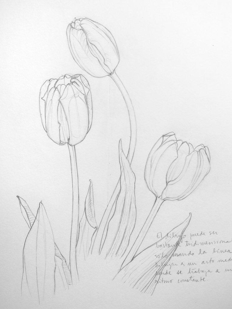 tulipán dibujo grafito Mi Naturalismo botánica flores