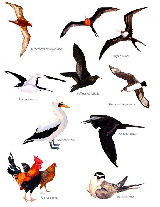 Aves de Isla de Pascua 2009