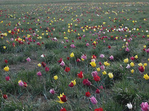 pradera tulipanes Mi Naturalismo