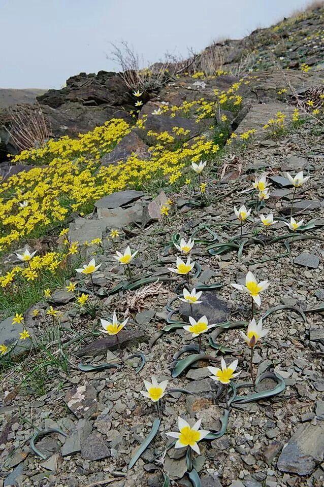 Tulipanes silvestres de montaña.