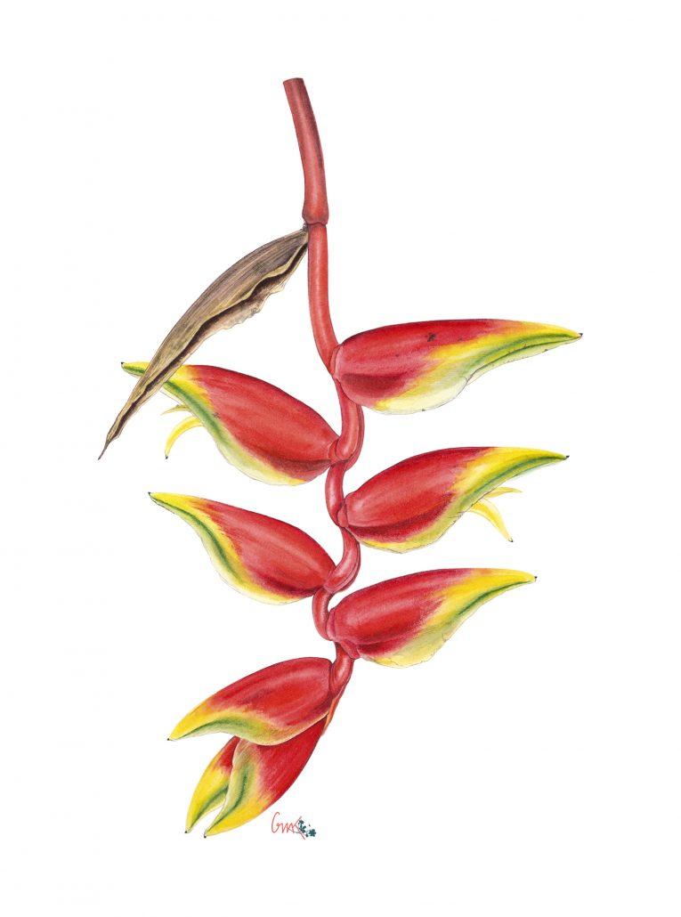 Heliconia RapaNui